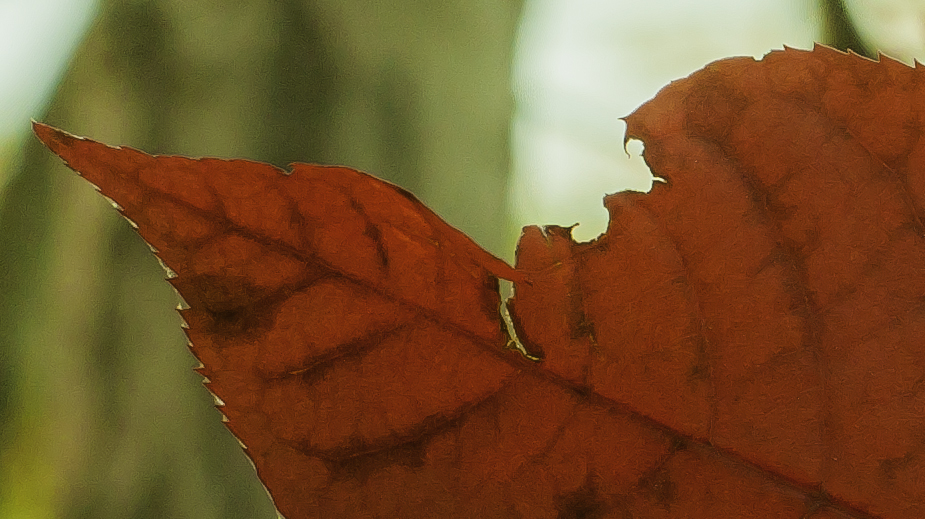 torn-red-leaf