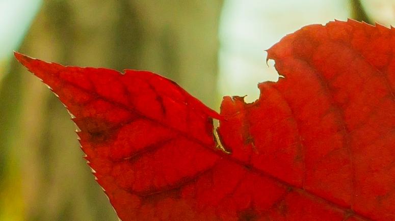 torn-red-leaf